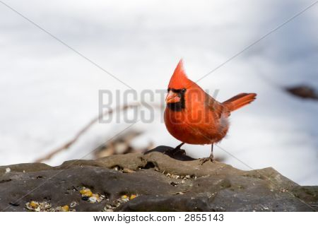 A male Northern Cardinal (Cardinalis cardinalis) feeding in winter. poster