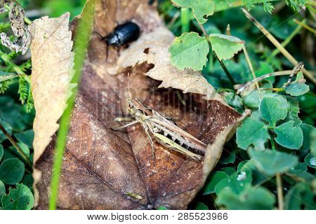 big green grasshopper on grass and plants poster