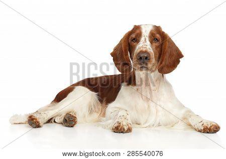 Welsh Springer Spaniel Dog On White Background. Animal Themes