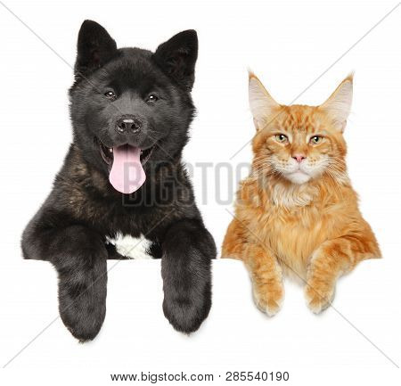 Cat And Dog Together Above Banner, Isolated On White Background. American Akita Puppy And Maine Coon