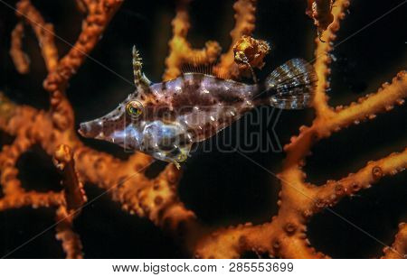 Filefish Underwater Off The Coast Of The Island Of Roatan
