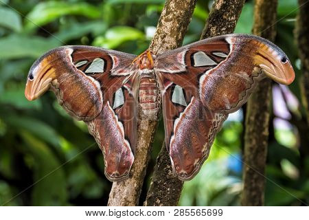 Atlas moth, Attacus atlas, these are the largest moths in the world with a wingspan from 10-12 inches, native to Southeast Asia poster