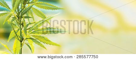 Cannabis Commercial Grow. Concept Of Herbal Alternative Medicine, Cbd Oil