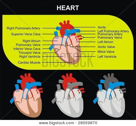 Human Heart Section Parts (Aorta, Right & Left Atrium & Ventricle, Pulmonary Artery, Tricuspid Aortic Mitral Valves, Cardiac Muscle, Superior & Inferior Vena Cava) Medical & Educational Use poster