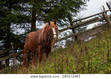 Brown Horse Grazes On Mountain Pasture. Steed Stands On Slope In Green Grass And Wildflowers.