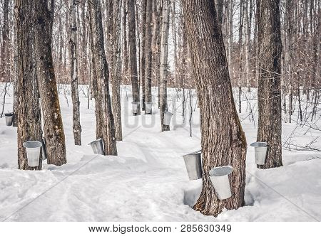 Maple Syrup Production In Quebec, Canada. Collecting Maple Sap In A Traditional Way.