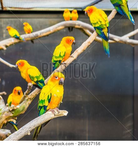 Aviculture, Sun parakeets sitting on branches in the aviary, colorful tropical little parrots, Endangered birds from America poster