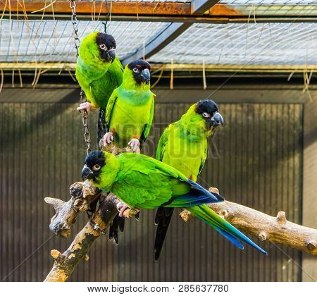 funny group of Nanday parakeets sitting together on a branch in the aviary, popular tropical pets from America poster