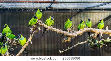 Aviculture, A branch with Nanday parakeets in a aviary, popular pets in aviculture, Tropical small parrots from America poster