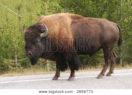Bison-Buffalo Walking On The Road In Yellowstone Np