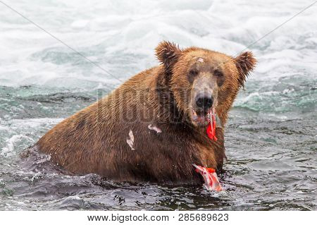 Grizzly Bear In Alaska Katmai National Park Hunts Salmons (ursus Arctos Horribilis)