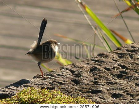Cute bird with funny tail