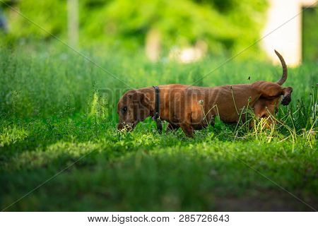 Rusty Red Dachshund Dog In Green Grass Nature Pets Live