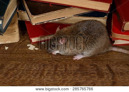 Close-up The Rat (rattus Norvegicus) Chewing Paper Near Pile Of Old Books On The Flooring In The Lib