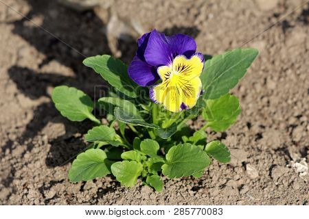 Bicolor Wild pansy or Viola tricolor or Johnny jump up or Heartsease or Hearts ease or Hearts delight or Tickle my fancy or Jack jump up and kiss me or Come and cuddle me or Three faces in a hood or Love in idleness small wild flower with dark blue and ye poster