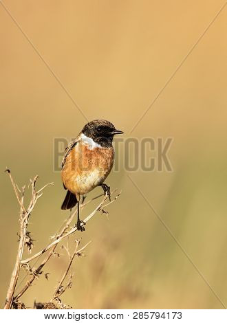 Close Up Of European Stonechat Perching On A Dry Grass Against Clear Background, Uk.
