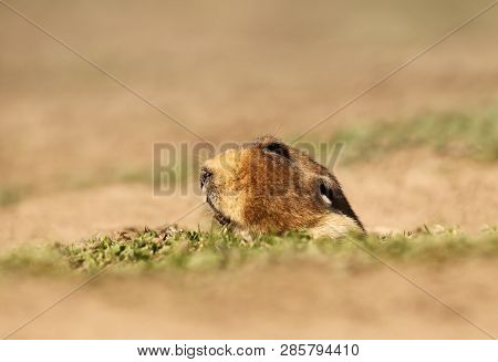 Close Up Of A Big-headed African Mole-rat, Bale Mountains, Ethiopia.