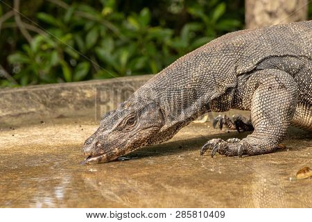 Thirsty Water Monitor Lizard, Varanus salvator, drinking water from a puddle on the road poster