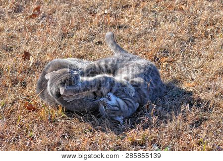 Two blue tabby cats fighting in dry winter grass