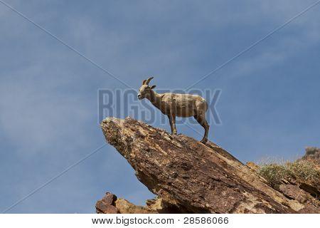 Desert Bighorn Sheep In Anza Borrego Desert.