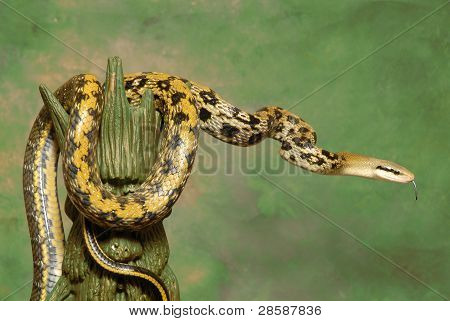 Taiwan Beauty Rat Snake on green backdrop