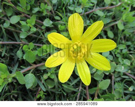 Zonguldak Turkey Eregli Hemorrhoids Herb Flowers In The Garden