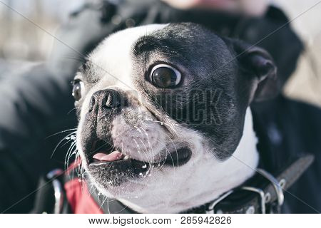Emotions-fear, Fright, Surprise, Shock On Muzzle Dogs Breed Boston Terrier Breed. Close Up.
