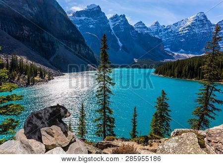 Powerful black bear rests on a the high bank of the lake. Moraine Lake, Canadian Rockies, Province of Alberta. The concept of ecological, photographic and active tourism