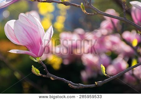 Beautiful Pink Blossom Of Magnolia Flower. Wonderful Spring Background. Flower Close-up