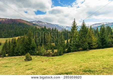Springtime Landscape In Mountains. Spruce Forest On The Grassy Hillside. Distant Ridge With Spots Of