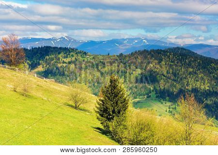Trees On The Grassy Hill In Mountains. Distant Ridge With Snowy Tops. Beautiful Countryside Scenery