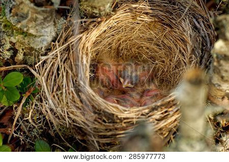 Nest Of Redwing - Turdus Iliacus  Bird In The Thrush Family, Turdidae, Native To Europe And Asia, Sl
