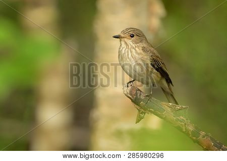 Spotted Flycatcher - Muscicapa Striata Sitting On The Branch In The Forest. Small Passerine Bird In