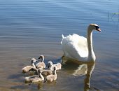 swan family on a lake ** Note: Slight blurriness, best at smaller sizes poster