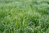Switchgrass plant (Panicum virgatum) for Biofuel Production poster