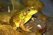Green Frog (Rana clamitans) in a wetland of northern Illinois. poster