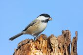 Black-capped Chickadee (poecile atricapilla) on a stump with blue sky in the background poster