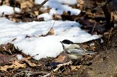 A single black-capped chickadee (Poecile atricapilla) on the forest floor in winter. poster
