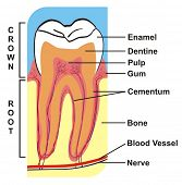 VECTOR - Cross Section of Tooth (Crown & Root) --- including the parts (enamel, dentine, pulp, gum, cementum, bone, blood vessel, nerve) --- for Education Purpose & Clinics poster