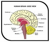 VECTOR - Human Brain Diagram - Side View with Parts ( Cerebrum, Hypothalamus, Thalamus, Pituitary Gland, Pons, Medulla, Brain Stem, Cerebellum, Midbrain ...) - For Medical & Educational Use poster