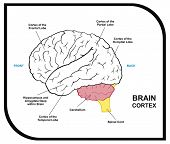 Human Brain Diagram - including ( cortex of frontal, partial, occipital, temporal Lobes ) - Useful for Education, Hospital and Clinic poster
