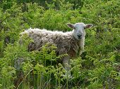 cuddly sheep amidst fern plants, wildlife shot south england poster