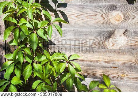 Parthenocissus Quinquefolia, Known As Virginia Creeper, Victoria Creeper, Five-leaved Ivy, Or Five-f