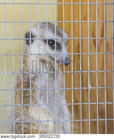 A Lone Meerkat Trapped In A Cage In A Zoo. Vertical Photo, Concept Of Keeping Animals In Captivity.