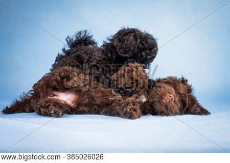 Two Puppies, Brown And Black, Breed Of Russian Colored Lapdog On A Blue Background In The Studio Ind