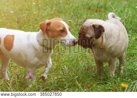 Jack Russel Terrier And Pug Dog Sniffing Each Other Outside