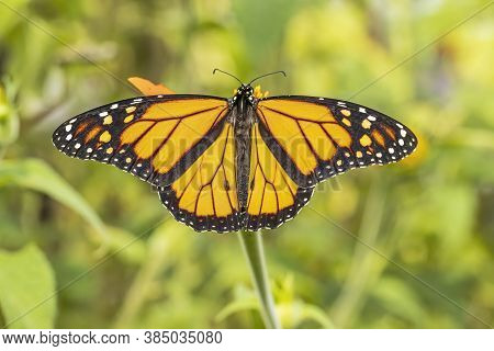 A Beautiful Monarch Butterfly Spreading It's Wings.