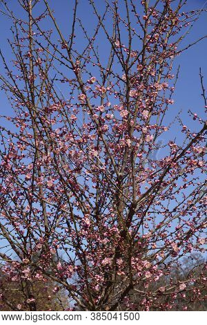 Peggy Clarke Japanese Flowering Plum (prunus Mume 'peggy Clarke')