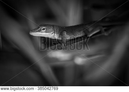 Black And White Of A Green Anole Or Carolina Anole (anolis Carolinensis). Raleigh, North Carolina.