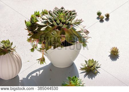 Planting And Dividing Sempervivum Succulent Plants. Mother Plant In Gloved Hand, Small Baby Plants O